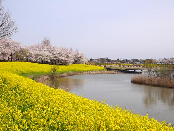 ( 菜の花と桜が満開 )