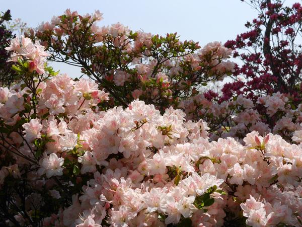 ( ツツジが咲いていました )