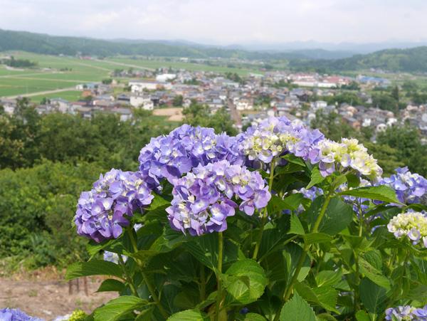 ( 紫陽花の季節です )